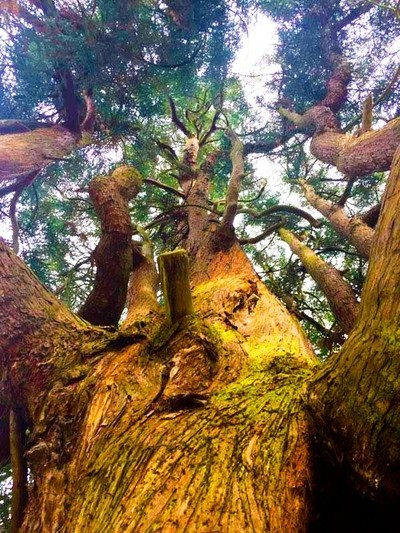 Up the Big Tree