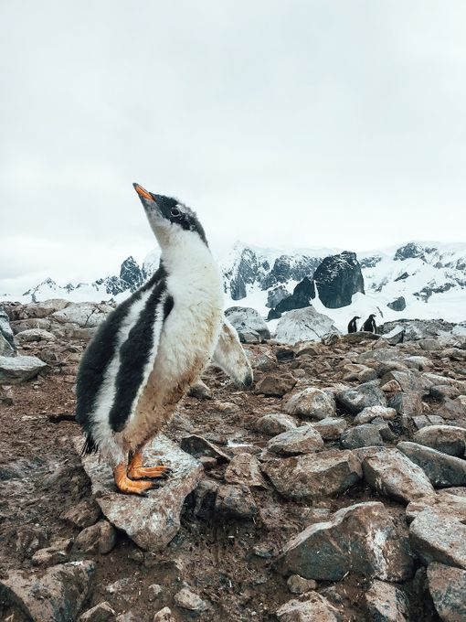 Gentoo Penguin Chick by johnbozinov