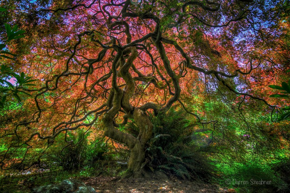 Saw this maple , so I got behind it and got this shot with the sun lighting up the canopy, and pe...