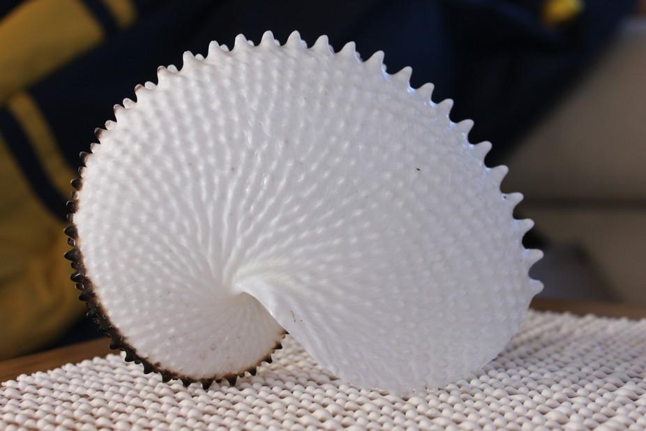 Nautilus Shell found in Schouten Passage East Coast of Tasmania