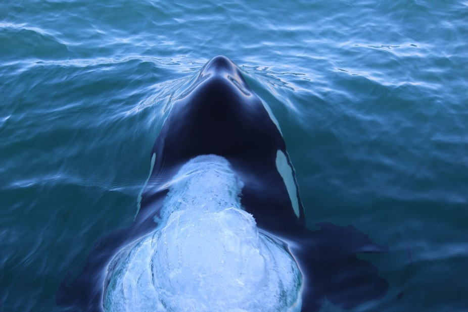 This orca swam right under our yacht and came out the other side!  So awesome!!