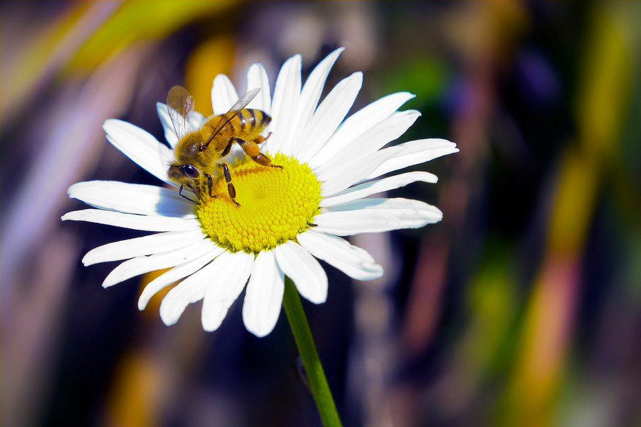 A bee on a Daisy in New Zealand's summer - January 2016.  Taken at Driving Creek Pottery...