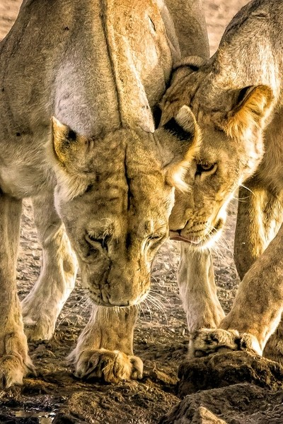 Young Lions playing in Golden Light