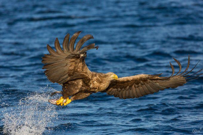 Sea Eagle  by wimdebaets - Just Eagles Photo Contest
