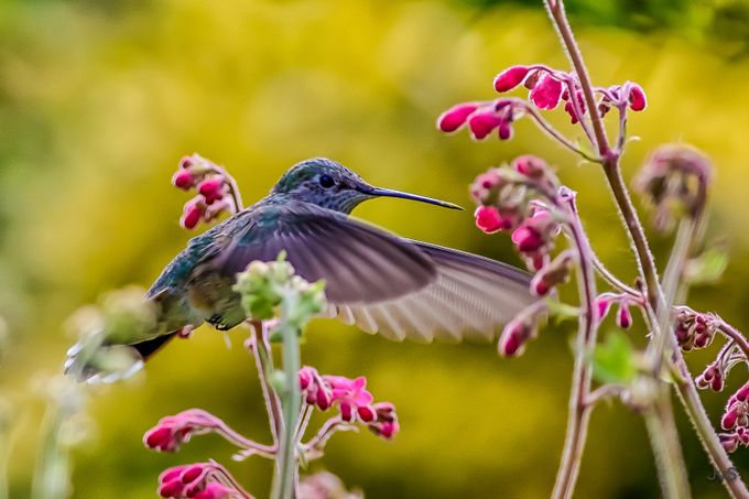 Hummer in the Coral Bells by DutchTouch - Bright And Colorful Photo Contest