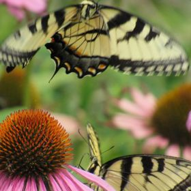 2 Tiger Swallowtails fighting over a cone flower