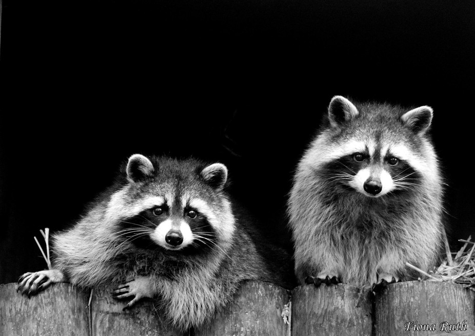 Raccoons at Drusillas zoo park, one of my favourite animals.