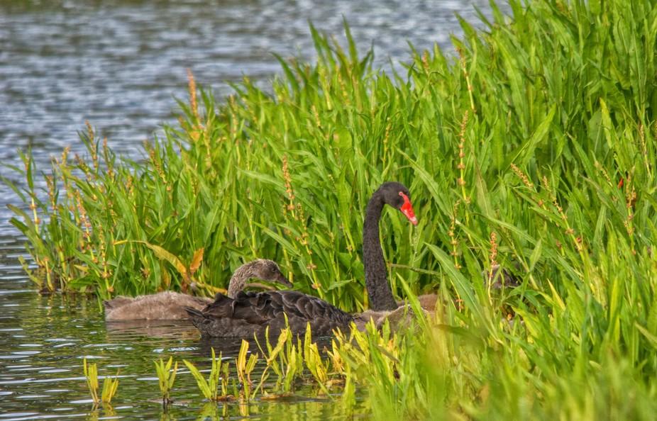 Mother black swan and babies....Hamilton, Victoria, Australia