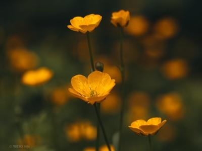 Glowing buttercup field