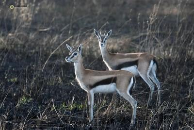 Thomson Gazelle pair soft morning light, Serengeti
