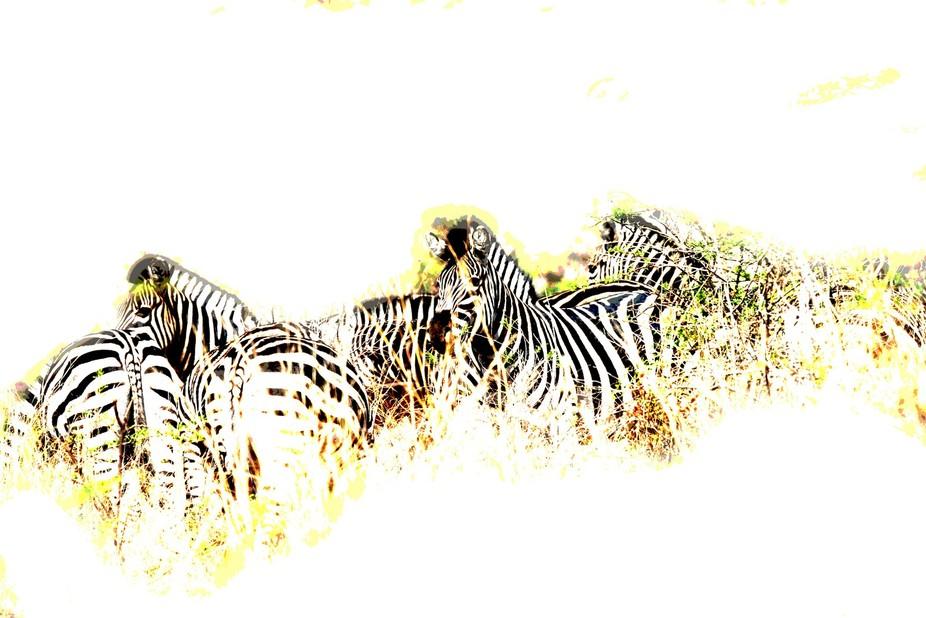 Zebra mirage