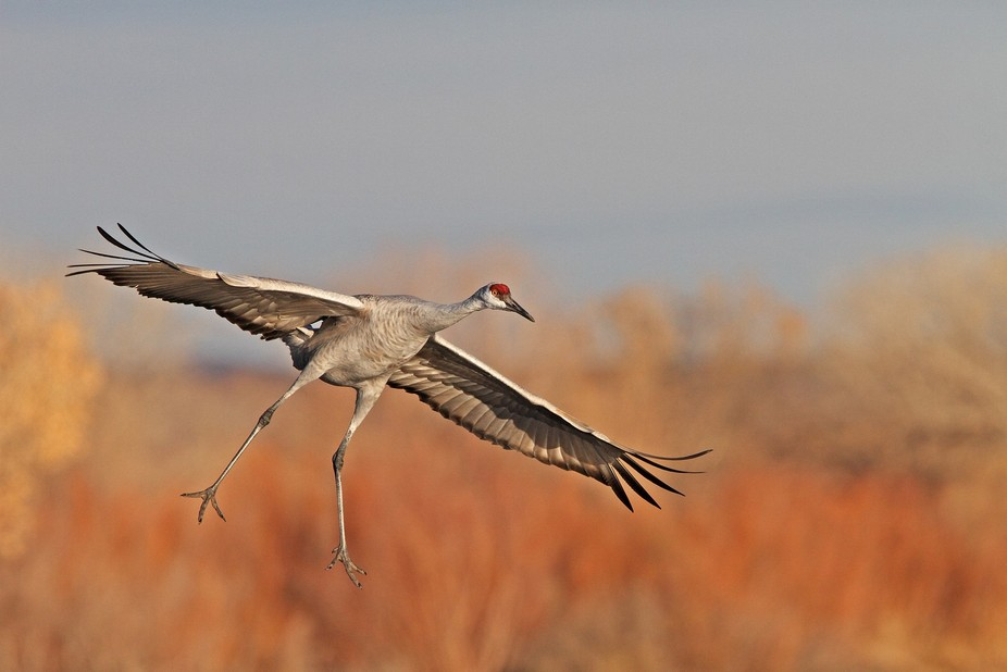 Sandhill Crane on Final Approach