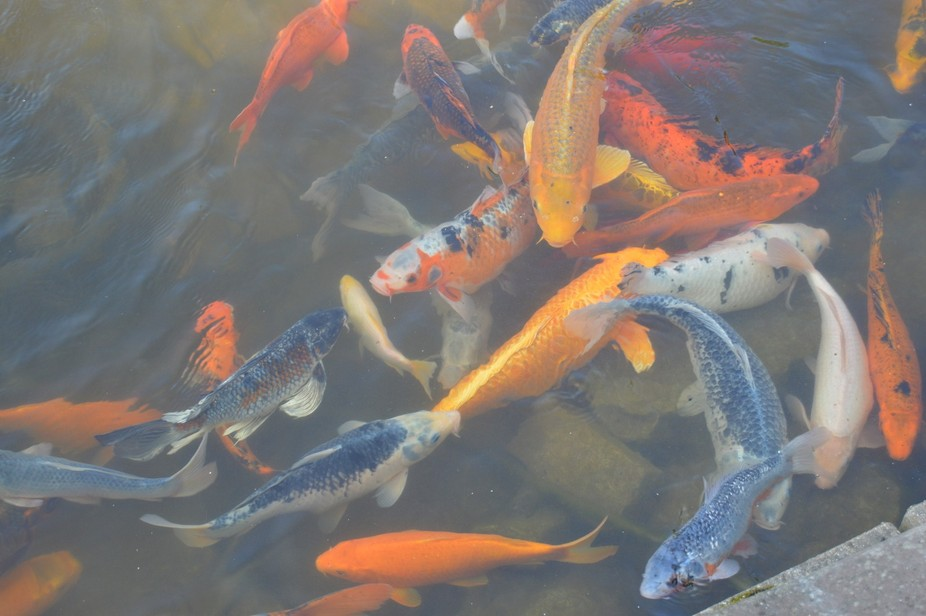 From a local water feature. The Koi were swimming with a swirl of color.
