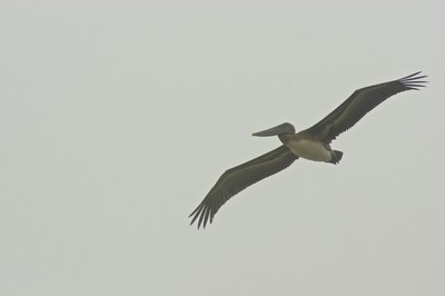 Clifornia Brown Pelican - Point Rayes
