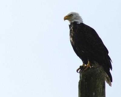 Masset Eagle - Queen Charlottes - Haida Gwaii
