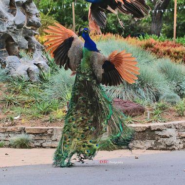 Peacock dance IMG_2515