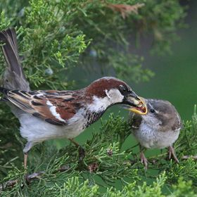 A sparrow feeds its juvenile offspring on the first day it leaves its nest.  This critical moment when the bird has jumped from the nest determin...