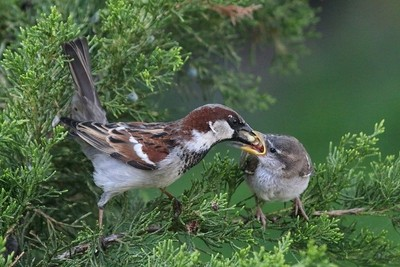 Bird Feeding Offspring