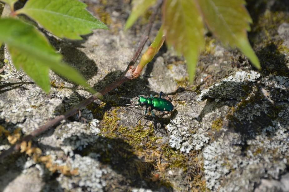 Found the little guy on a hike. The bright green caught my eye so I snapped a shot.