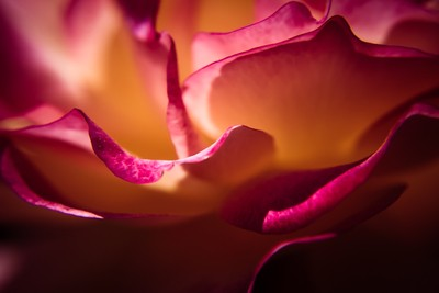 Rose In The Afternoon