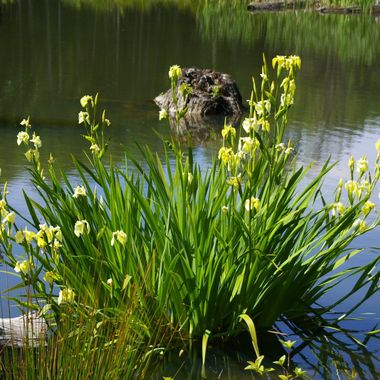 IRIS in YELLOW on the POND - 29th May 2007 Qualicum Beach exit to Rupert