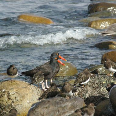 Twin Black Oystercatchers in Qualicum Beach - 3 Mar '08