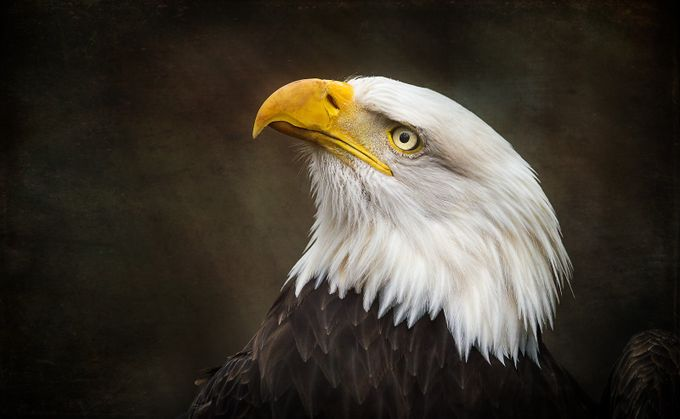 Portrait-of-a-Bald-Eagle by tracymunson - Just Eagles Photo Contest