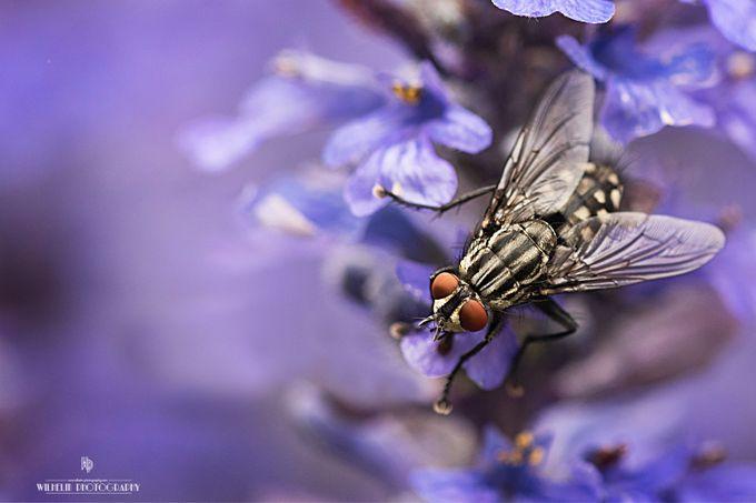 Flesh Fly by tonyawilhelm - Shallow Depth Of Field Photo Contest
