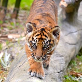 A baby tiger cub explores her new surroundings at the Jacksonville Zoo in Florida.