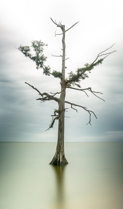 Tree in Currituck Sound