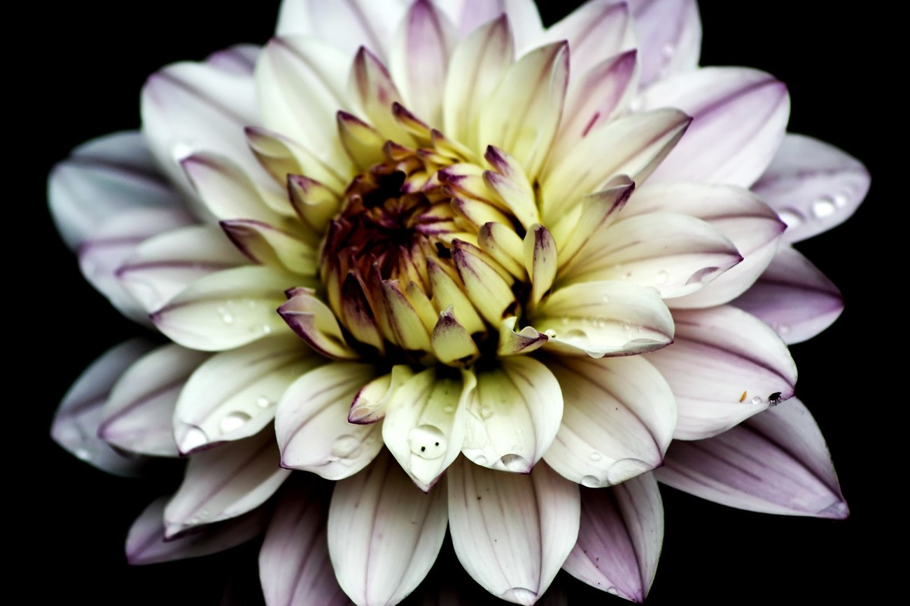 A purple and yellow water lily type Dahlia with raindrops