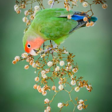 Peach-faced Lovebird found some tasty bits on a Creosote Bush.