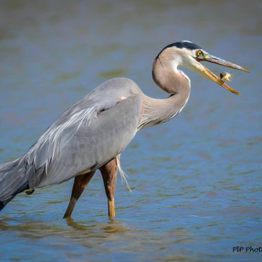 I have been wanting to capture a Great Blue Heron with a fish; super lucky to get a photo with the Heron flipping the fish before eating it.