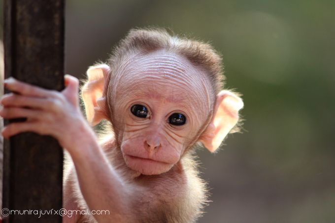 Animal Closeup 3 by Muniraju - Monkeys And Apes Photo Contest