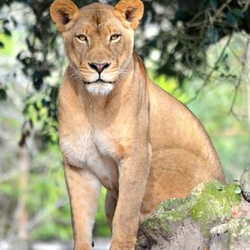 A proud lioness stares intently at the many visitors to her area at the Jacksonville Zoo & Gardens in Florida.