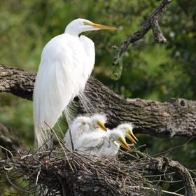 An egret and its new family look out over their nest at the rookery in St. Augustine's Alligator Farm in Florida.
