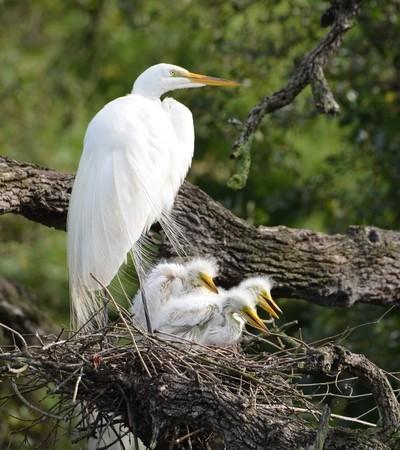New Egret Family