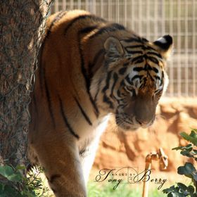 A lone Tiger at Pathos Zoo Cyprus