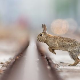 A wild living European rabbit jumping over rail tracks in Vienna. Urban wildlife gets interesting for me more and more. Visit me on https://faceb...