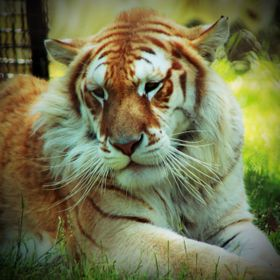 Tiger Creek big cat sanctuary in Tyler, TX.