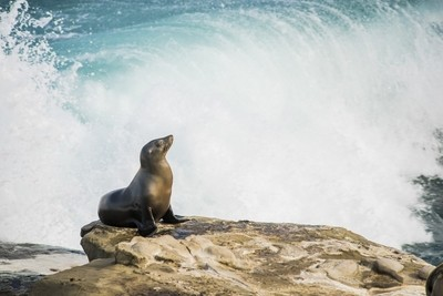 Single sea lion sun bathing on a cliff with crashing waves in the background