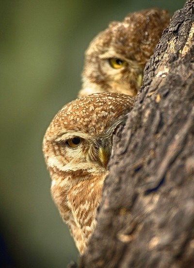 A hiding spotted-owlet pair...