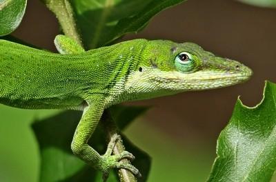 Green Anole on Oak