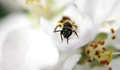 pollen forager