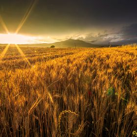 wheat field at sunset of a long and hot afternoon in late June in an area of south Italy