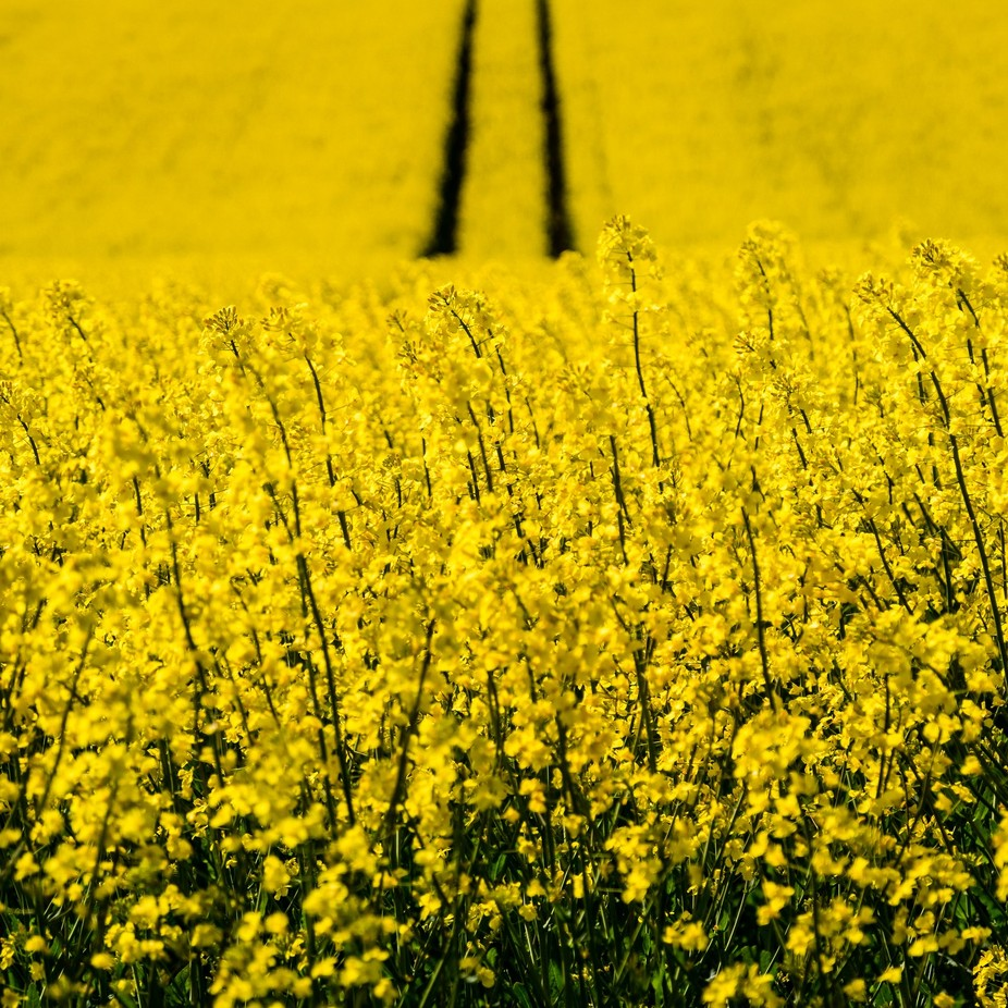 Yellow field - Denmark by Christian-AndaluciaEnFoto - Beautiful Flowers Photo Contest