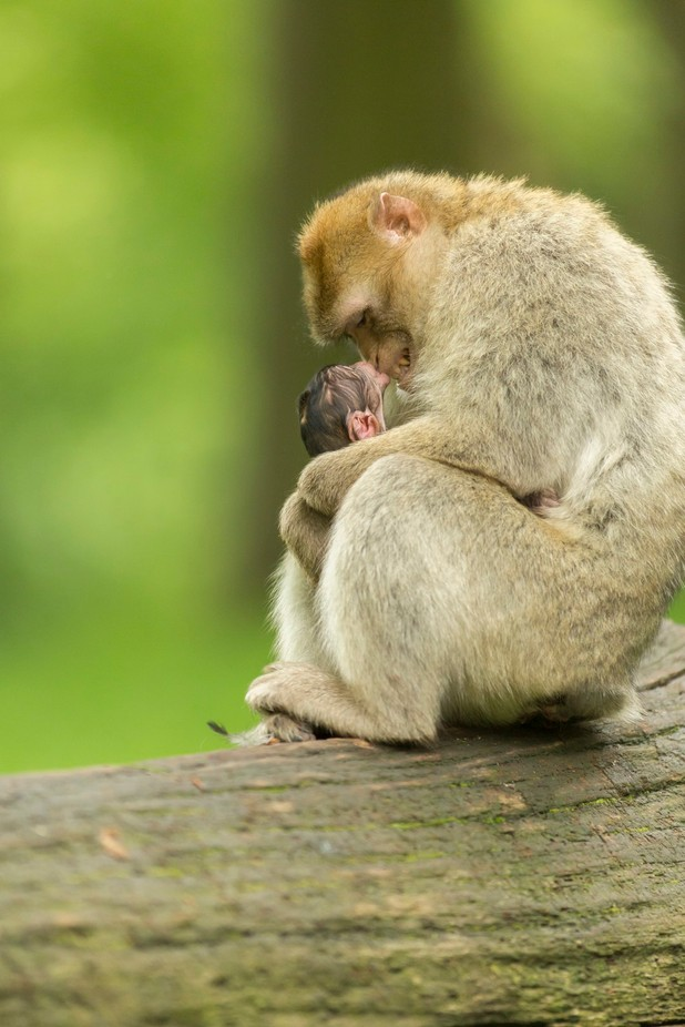 Mother & Baby 01 by ronharrison - Monkeys And Apes Photo Contest