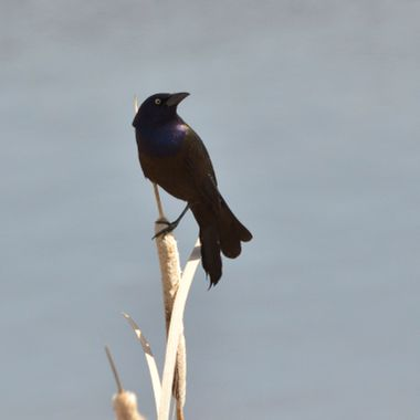 This is a grackle, a small blackbird, which has purple coloring to the head, and bronze colored shoulders