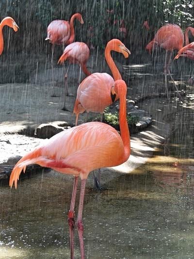 Watering the Flamingos