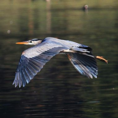 Great Blue Heron IMG_6409